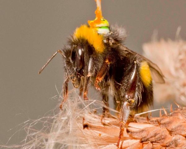 Una abeja con antena es clave para mejorar los vehículos autónomos y los drones